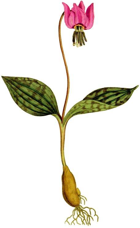 erythronium_dens-canis_1797
